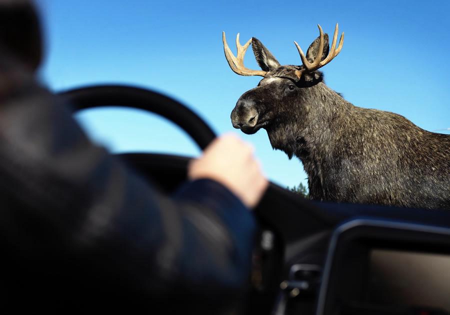 Как избежать штрафа за лося?